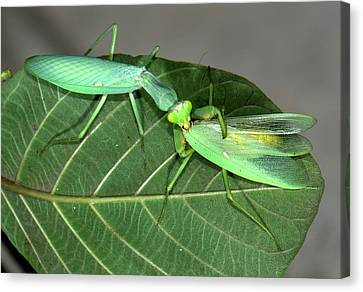 Asian Mantis Eating Her Mate Canvas Print by K Jayaram
