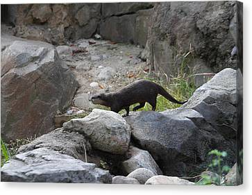 Asian Small Clawed Otter - National Zoo - 01134 Canvas Print by DC Photographer