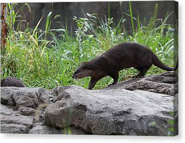 Asian Small Clawed Otter - National Zoo - 01135 Canvas Print by DC Photographer