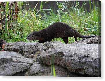 Asian Small Clawed Otter - National Zoo - 01136 Canvas Print