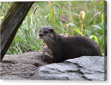 Asian Small Clawed Otter - National Zoo - 01137 Canvas Print by DC Photographer