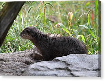 Otter Canvas Print - Asian Small Clawed Otter - National Zoo - 01138 by DC Photographer