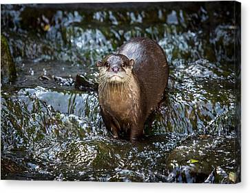 Asian Small-clawed Otter Canvas Print by Paul Williams