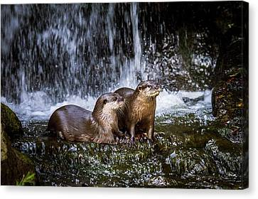 Asian Small-clawed Otters Canvas Print by Paul Williams
