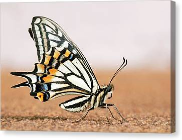 Asian Swallowtail Butterfly Canvas Print by Petr Jan Juracka