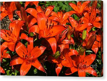 Asiatic Lily Canvas Print by Sue Smith