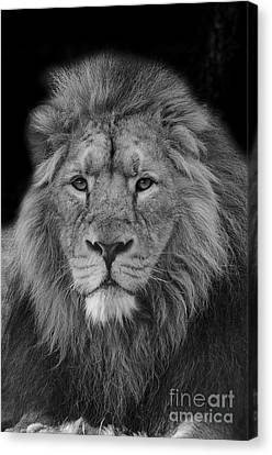 Asiatic Lion Canvas Print