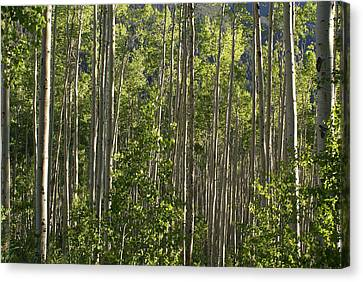 Aspen Along Independence Pass  Canvas Print by Jacqueline Russell