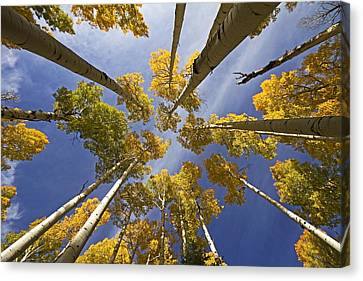 Aspen Color Canvas Print by Sue Cullumber