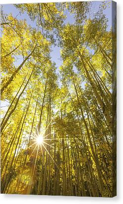 Sunburst Canvas Print - Aspen Day Dreams by Darren  White