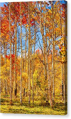 Aspen Fall Foliage Portrait Red Gold And Yellow  Canvas Print by James BO  Insogna