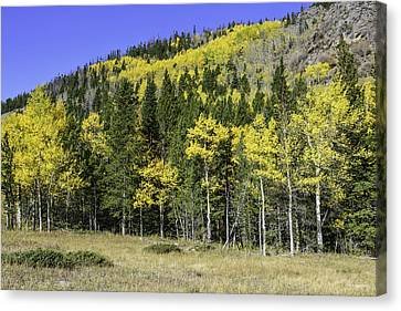 Aspen Foliage Canvas Print by Tom Wilbert