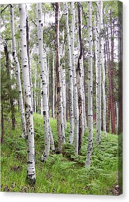 Aspen Forest Canvas Print
