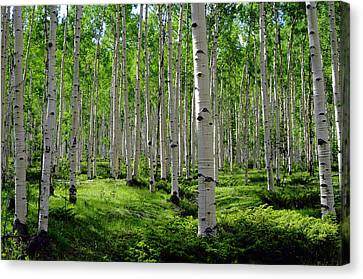 Aspen Glen Canvas Print by The Forests Edge Photography - Diane Sandoval