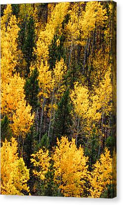Aspen Grove Canvas Print by Juli Ellen