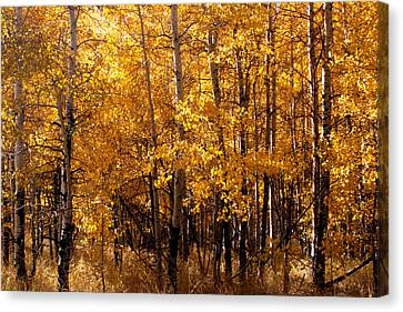 Aspen Grove Tahoe City Canvas Print by William Havle