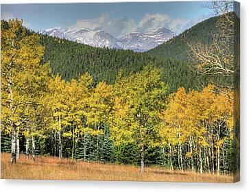 Aspen In Fall Mt Evans Canvas Print by Harold Rau
