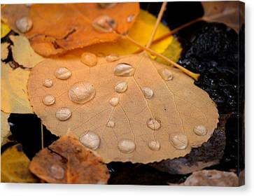 Aspen Leaf With Water Drops Canvas Print
