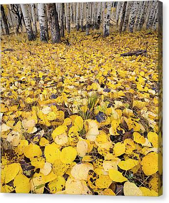 Aspen Leaves Fallen On Ground Canvas Print by Panoramic Images