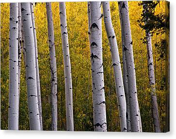 Aspen Light 2 Canvas Print by Dave Dilli