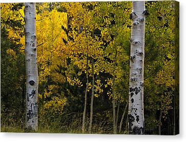Aspen Light Canvas Print by Dave Dilli