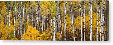 Aspen Pano Canvas Print by Gary Peterson