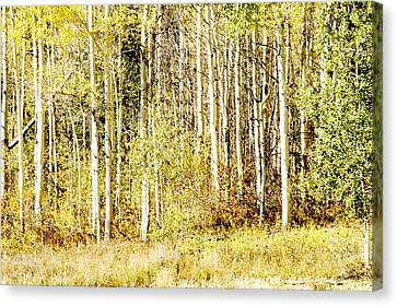 Aspen Sunshine Canvas Print