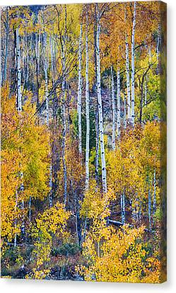Aspen Tree Magic Cottonwood Pass Canvas Print by James BO  Insogna