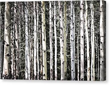 Aspen Tree Trunks Canvas Print by Elena Elisseeva