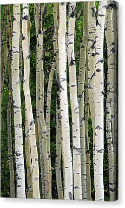 Aspen Tree Trunks, Healy, Alaska, Usa Canvas Print by Michel Hersen