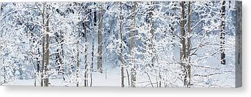 Aspen Trees Covered With Snow, Taos Canvas Print by Panoramic Images