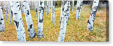 Aspen Trees In A Grove, Hart Prairie Canvas Print by Panoramic Images