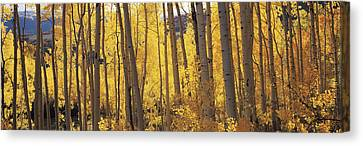 Aspen Trees In Autumn, Colorado, Usa Canvas Print by Panoramic Images