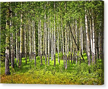 Aspen Trees In Banff National Park Canvas Print by Elena Elisseeva