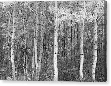 Canvas Print - Aspen Trees In Black And White by Sheri Van Wert