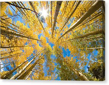 Aspen Trees Looking Up Canvas Print