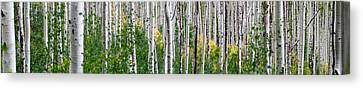 Aspen Trees Canvas Print