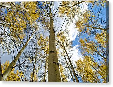 Aspen Tress To The Sky Canvas Print