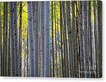 Aspen Trunks Canvas Print by Inge Johnsson