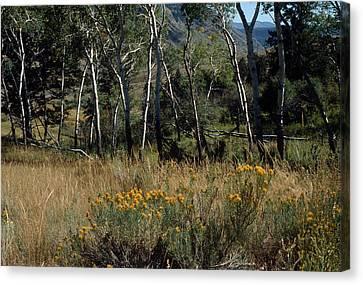 Canvas Print - Aspen Yellowstone National Park by Harold E McCray
