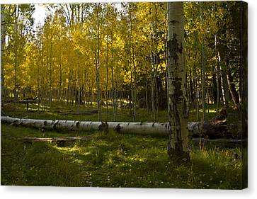 Canvas Print featuring the photograph Aspens 4619 by Tom Kelly