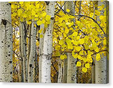 Aspens At Autumn Canvas Print by Andrew Soundarajan
