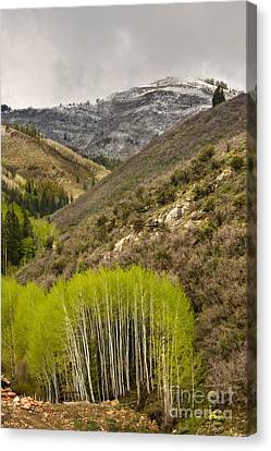 Aspens In Early Summer Storm Canvas Print by Matt Tilghman