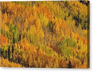 Populus Tremuloides Canvas Print - Aspens In Fall On Steep Mountain Slope by Adam Jones