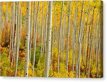 Aspens In The Colorado Rockies Canvas Print