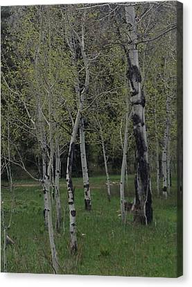 Aspens In The Spring Canvas Print by Shawn Hughes