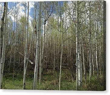 Aspens In The Springtime Canvas Print by Shawn Hughes