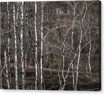 Aspens  Canvas Print by Marion McCristall