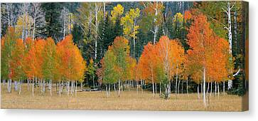 Aspens And Meadow-pan Canvas Print