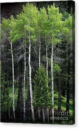 Aspens Of Yellowstone Canvas Print by E B Schmidt